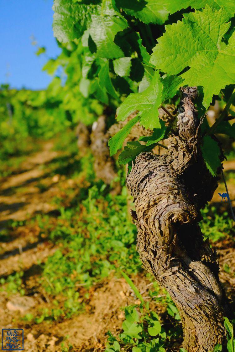 Le Chameau Bleu - Blog Voyage Bourgogne Santenay - Cep de Vigne de Santenay