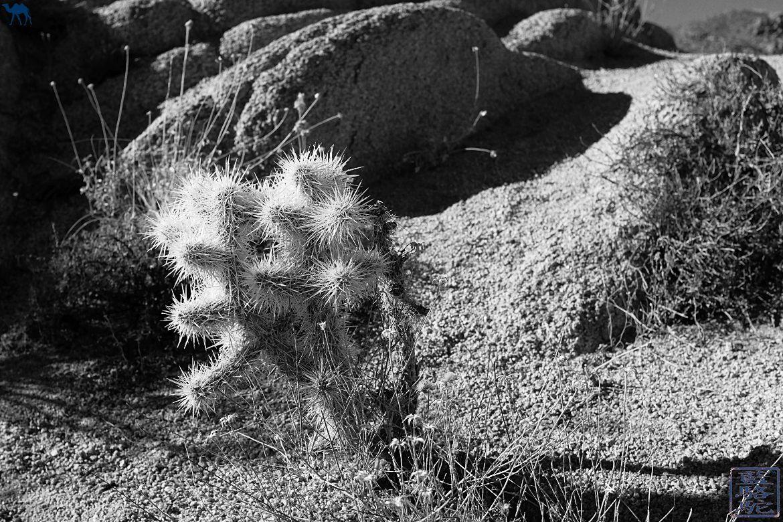 Le Chameau Bleu- Blog voyage - Californie du Sud-cactus du desert de mojaves