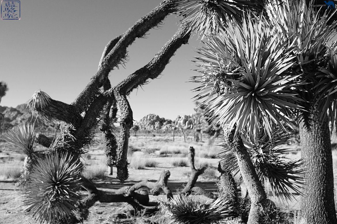 Le Chameau Bleu - Joshua Tree dans le Joshua National Park Californie - USA