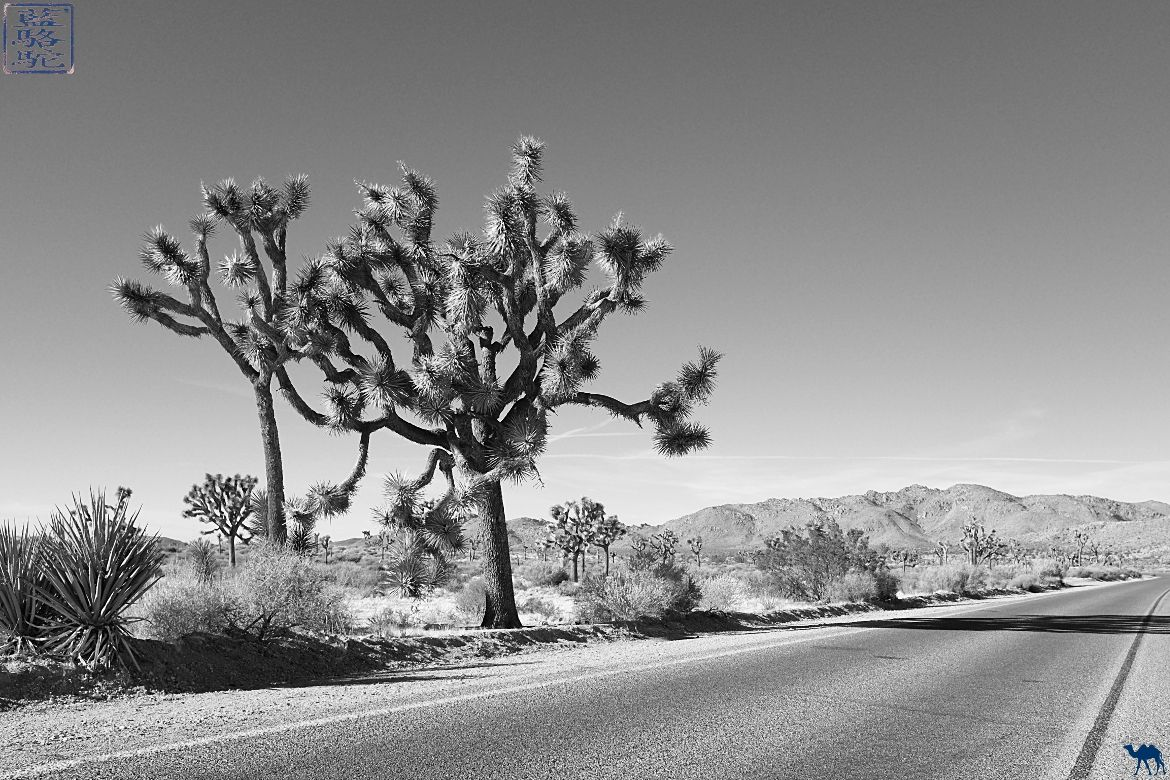 Le Chameau Bleu Blog Voyage Californie - Le Parc National de Joshua Tree Californie USA- Arbre et route