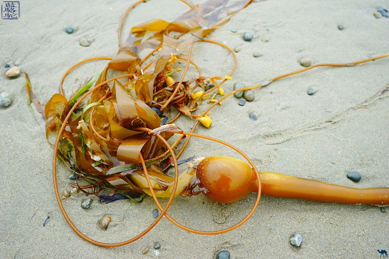Le Chameau Bleu - Blog Voyage Tofino Canada - Algue de Long Beach - Vacances Tofino Canada