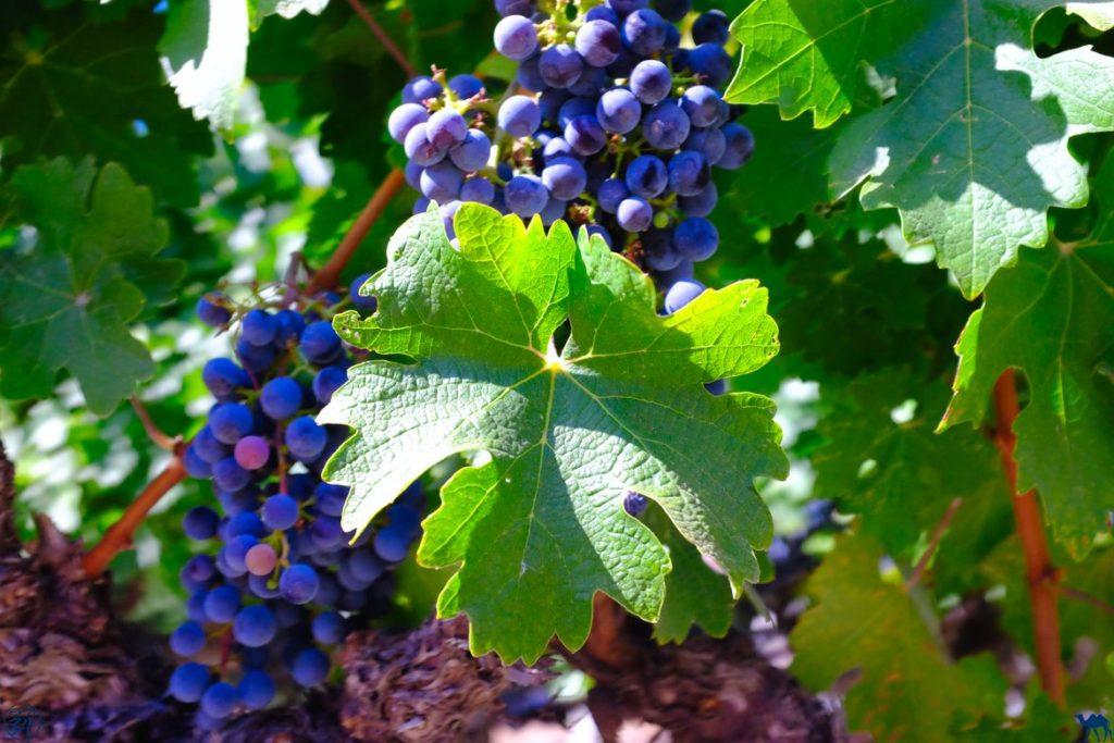 Le Chameau Bleu - Blog Voyage Californie - Cep de vigne napa Valley