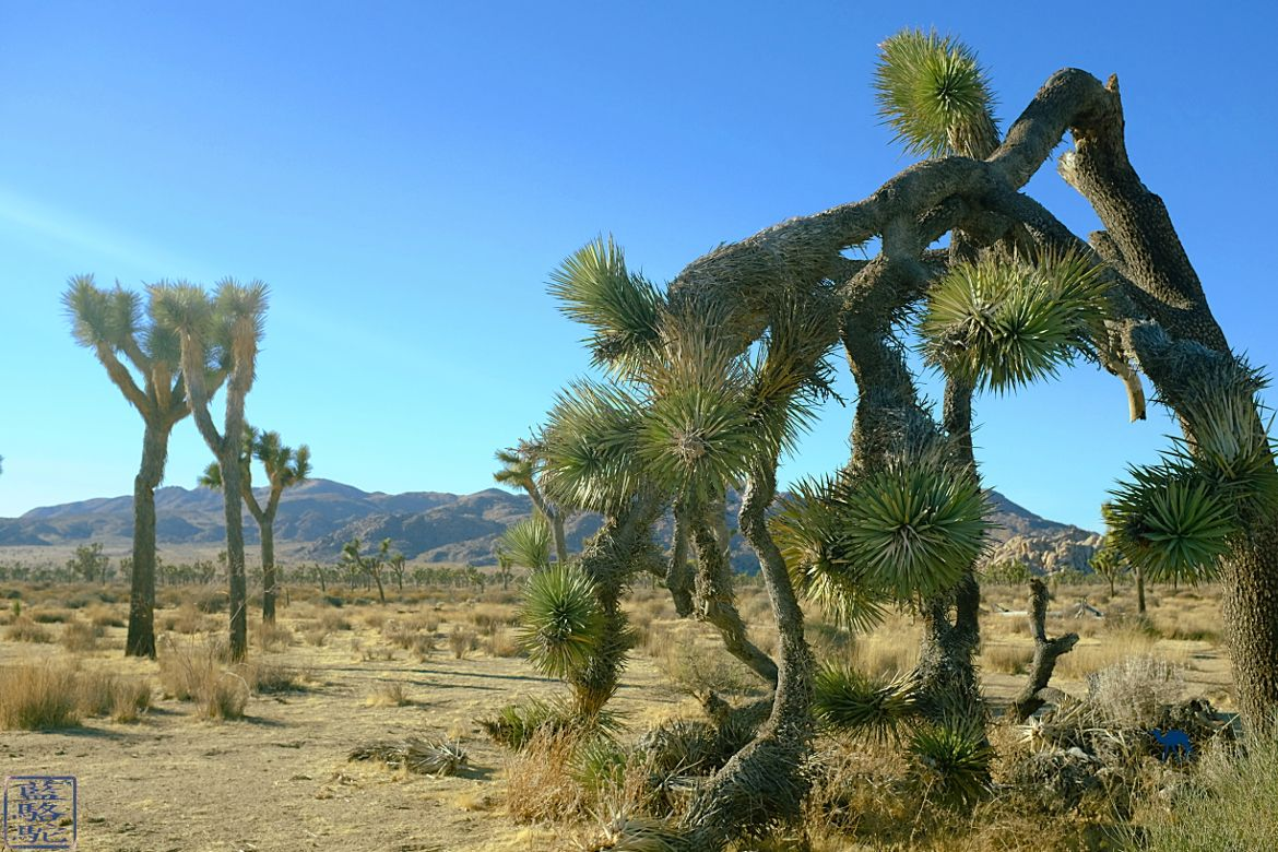 Le Chameau Bleu Blog Voyage Californie - Le Parc National de Joshua Tree Californie USA- Arbre